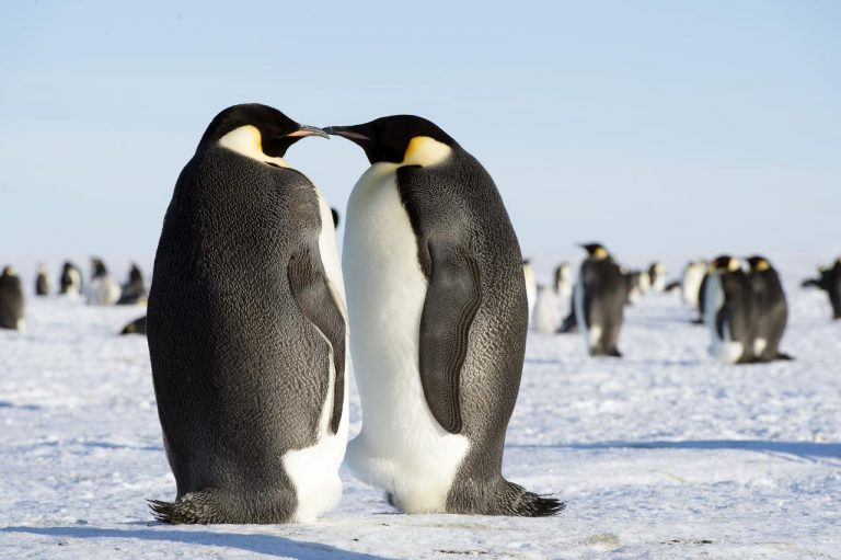 two emperor penguins